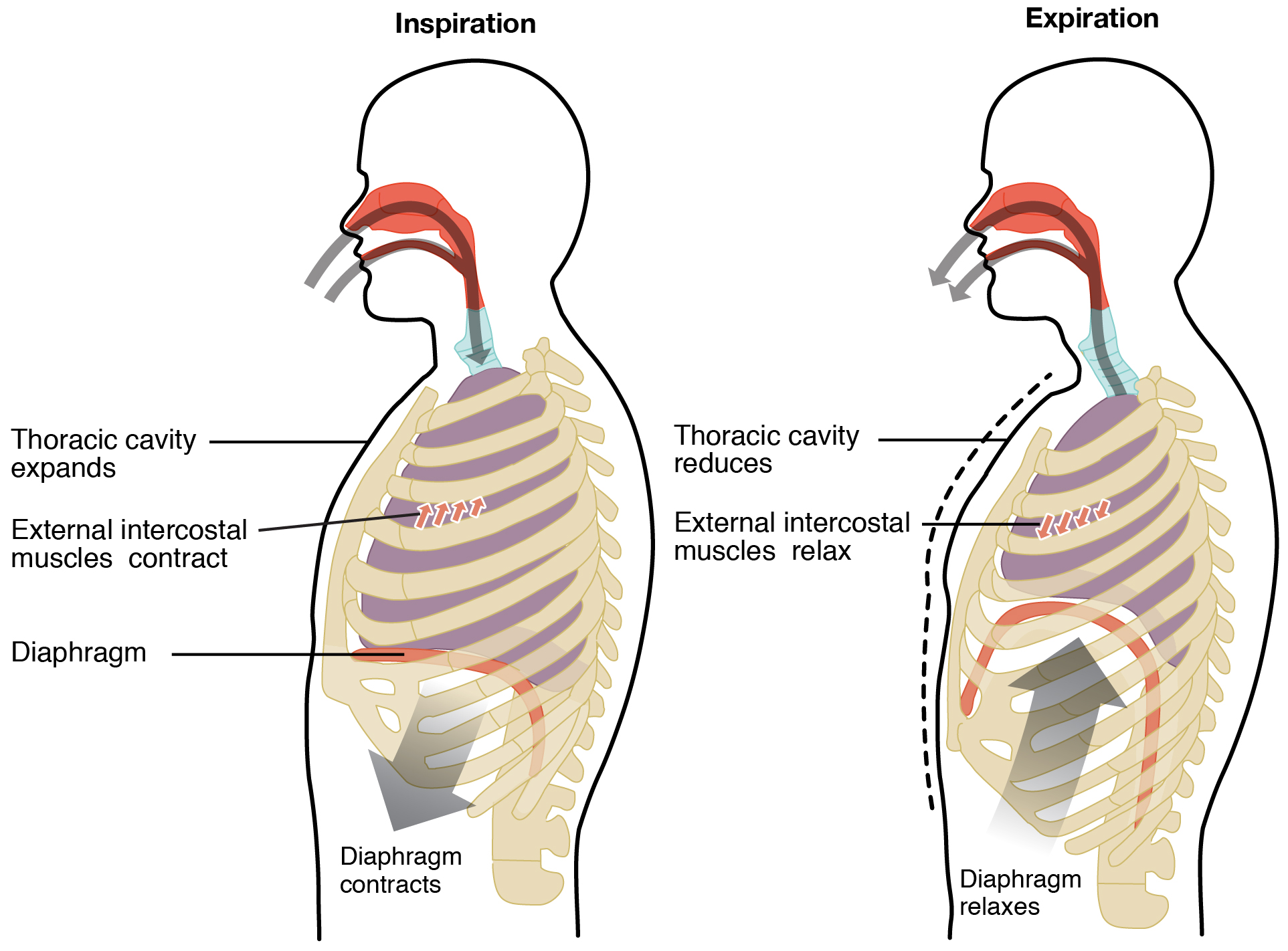 The Diaphragm And Proper Breathing The Fountain Acupuncture Pain